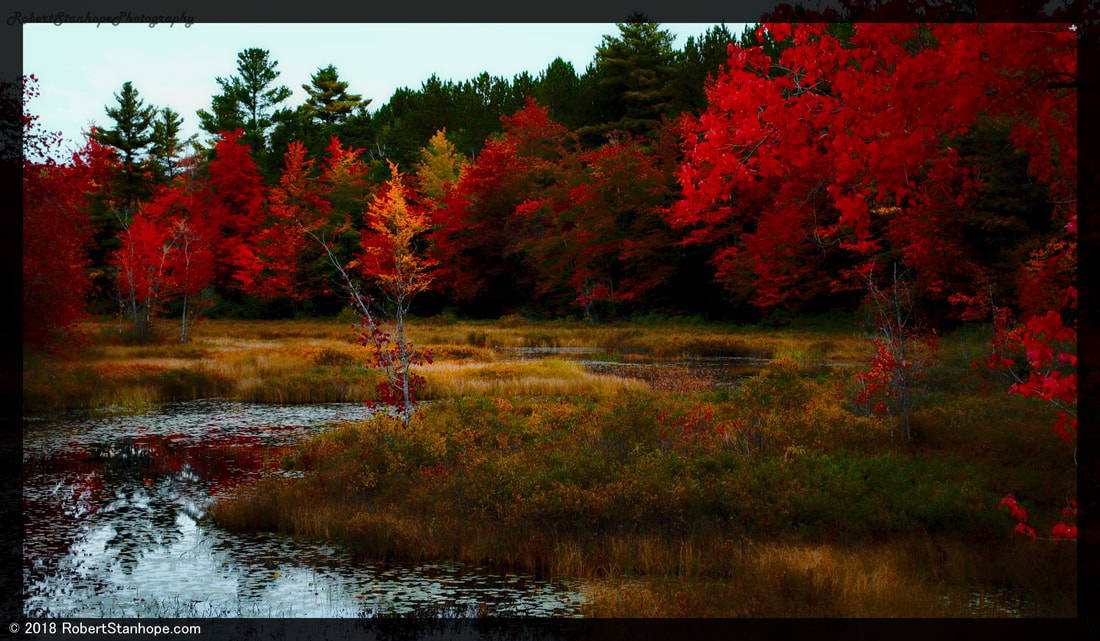 Swamp maples are the first to change colors during foliage season.